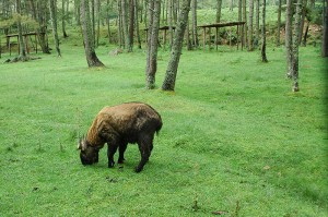 800px-A_Takin_the_national_animal_of_Bhutan